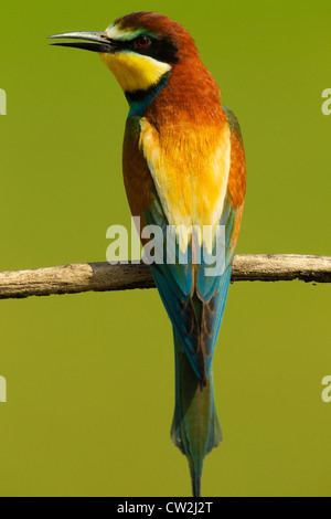 European bee-eater(Merops apiaster)Hungry - Stock Photo