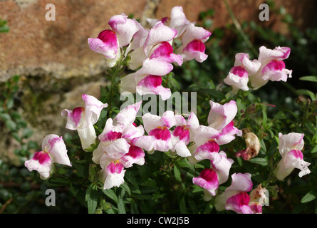 Common Snapdragon, Antirrhinum majus, Plantaginaceae. Mediterranean. - Stock Photo