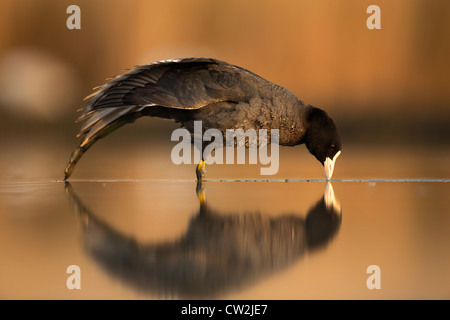 Eurasian Coot(fulica atra)Hungry - Stock Photo
