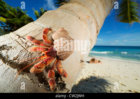 Hermit Crab (Anomura spp) on stem of coconut palm tree. Seychelles - Stock Photo