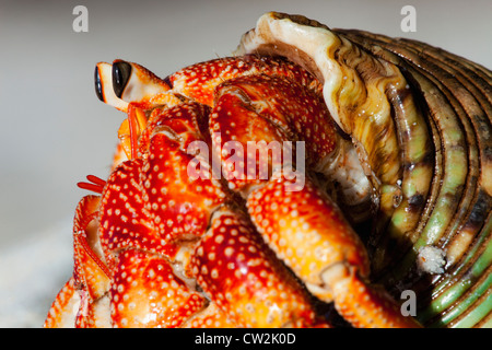 Hermit Crab (Anomura spp). Protect themselves by using the empty shells of molluscs.Seychelles. - Stock Photo
