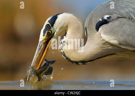 Grey Heron(Ardea cinerea)with a fish in its beak.Hungry - Stock Photo