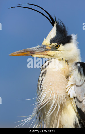 Grey Heron(Ardea cinerea)Hungry - Stock Photo