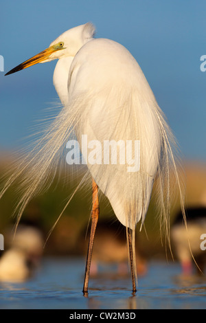 Great egret(Ardea alba)Hungry Stock Photo