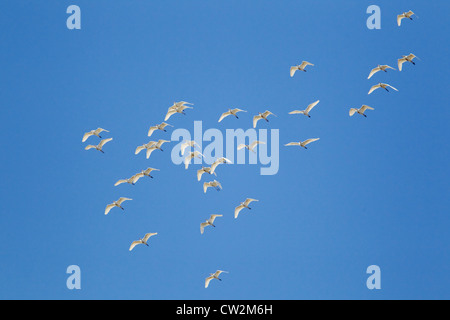 Cattle Egret - flock in flight Bubulcus ibis South Texas Coast, USA BI023104 - Stock Photo