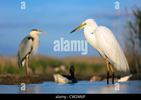 Great egret (Ardea alba) and Grey Heron(Ardea cinerea) in background. Hungry - Stock Photo