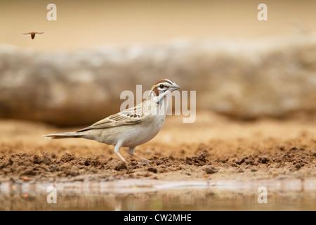 Lark Sparrow Chondestes grammacus South Texas, USA BI023227 - Stock Photo