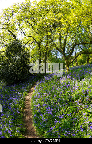 English bluebells in May, Hyacinthoides non-scripta,  and ancient sessile oak forest, Quercus petraea, Shropshire - Stock Photo