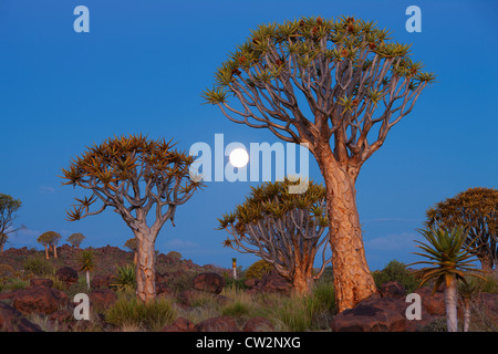 Quiver tree at sunset(Aloe dichotoma).Namibia - Stock Photo