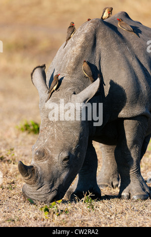 Red-billed oxpecker (Buphagus erythrorhynchus) on a white rhinoceros (Ceratotherium simum) - Stock Photo
