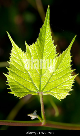 A fresh new grape leaf emerges from the vine. - Stock Photo