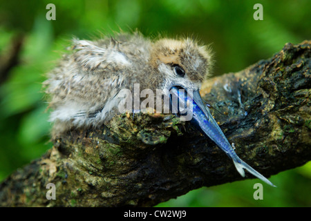 White fairy tern chick (Gygis alba) eating a fish.Seychelles - Stock Photo