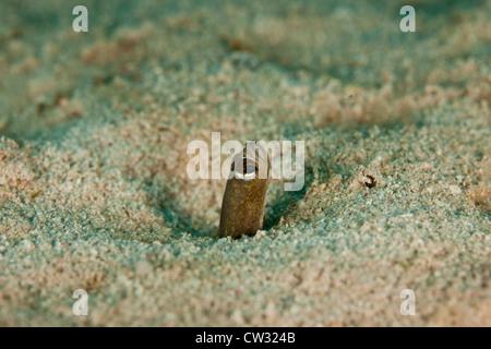 Brown Garden Eel (Heteroconger longissimus), colony on sandy ground ...