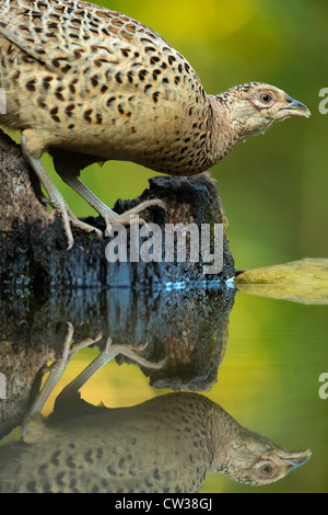 Common Pheasant female(Phasianus colchicus)Hungry - Stock Photo