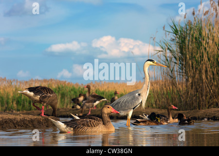 Greylag goose(Anser anser) and Grey Heron(Ardea cinerea) in background.Hungry - Stock Photo