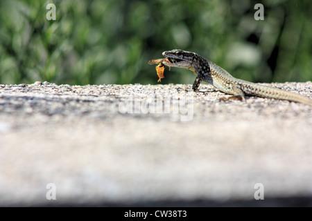 Podarcis muralis (common wall lizard) hunting a wasp, Italy - Stock Photo