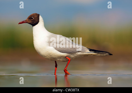 Black-headed gull(Chroicocephalus ridibundus)Hungry - Stock Photo