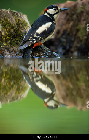 Great spotted woodpecker(Dendrocopos major)Hungry - Stock Photo