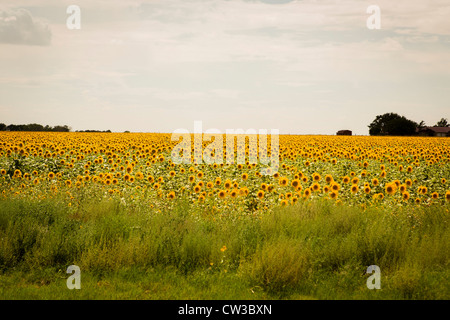 sunflowers in the Texas Panhandle, august of 2012 - Stock Photo