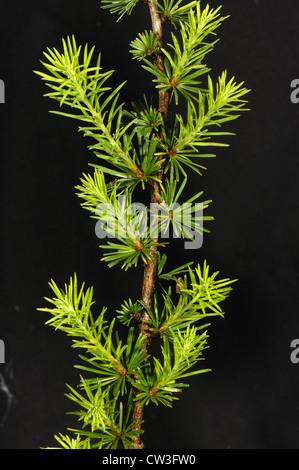 Young needle foliage on larch (Larix decidua) - Stock Photo