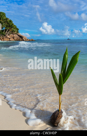 Germinating coconut on sea shore.La Digue Island. Seychelles. - Stock Photo