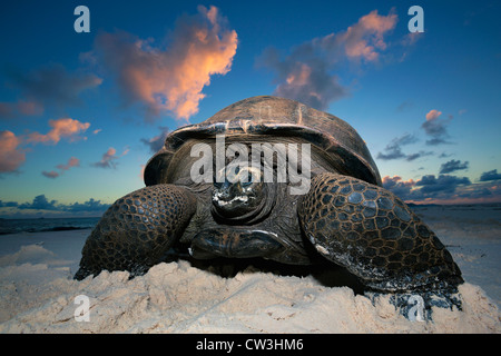 Giant tortoise (Geochelone gigantea). Vulnerable species. Dist. Seychelles islands. - Stock Photo
