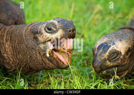 Giant tortoise (Geochelone gigantea). Vulnerable species. Dist. Seychelles islands. - Stock Photo