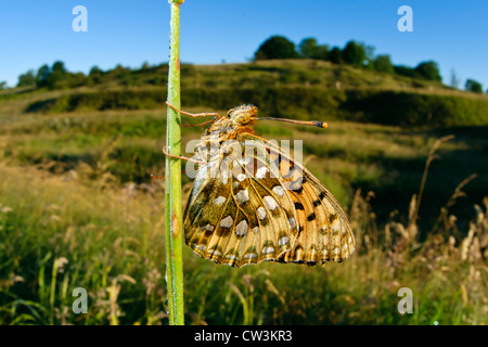 Dark green fritillary butterfly in a grassy habitat - Stock Photo