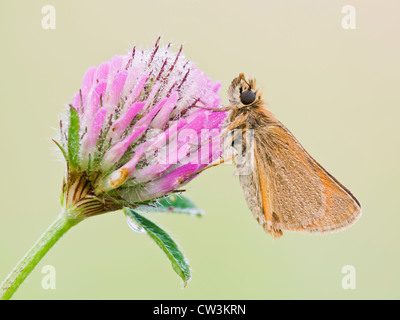 Small skipper resting on clover flower - Stock Photo