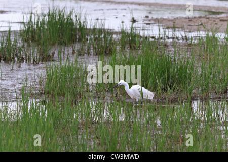 egret walk - Stock Photo