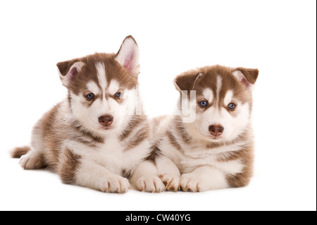 Siberian Husky. Two puppies lying. Studio picture against a white background - Stock Photo