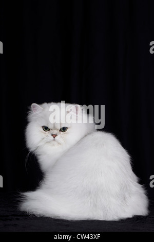 Persian Cat. Adult sitting, seen from the rear. Studio picture against a black background