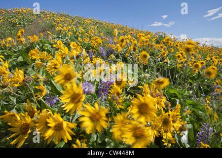 USA, Oregon, Columbia River Gorge, Meadows east of Mosier - Stock Photo