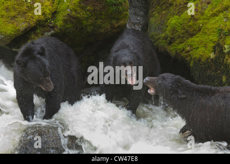 USA, Alaska, Tongass National Forest, Anan Wildlife Observatory, Black Bears Fighting Over Best Fishing Areas at - Stock Photo