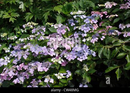 HYDRANGEA SERRATA BLUEBIRD. LACECAP - Stock Photo