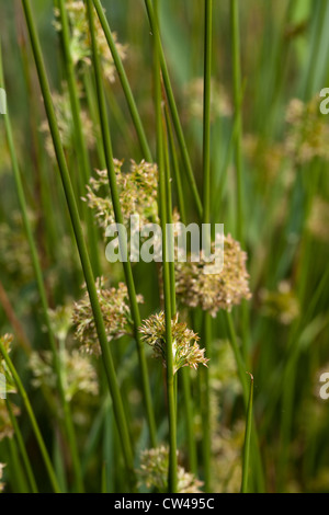 Common or Soft Rush (Juncus effusus). Flower and seed heads on side of round cross-section stems. - Stock Photo