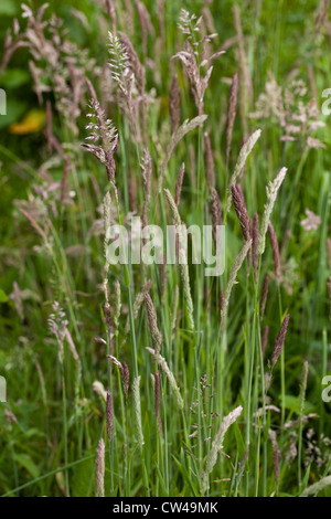 Yorkshire Fog Grass (Holcus lanatus). Panicles in various stages of ripening. Perennial grass preferring damp, low - Stock Photo