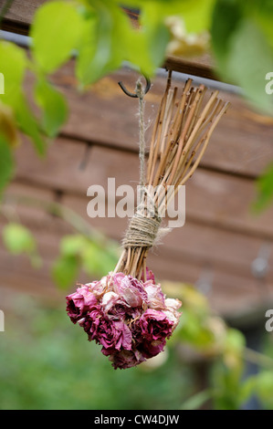 Dried roses hanging in a lean to conservatory with a grape vine UK - Stock Photo