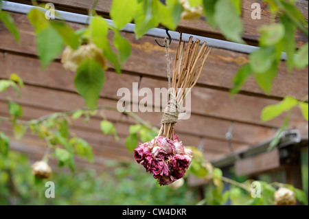Dried flowers hanging in a lean to conservatory with a grape vine UK - Stock Photo