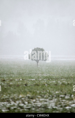 A lone tree standing in the midst of a snow storm in the high-desert of Lockwood Valley, Las Padres National Forest, - Stock Photo