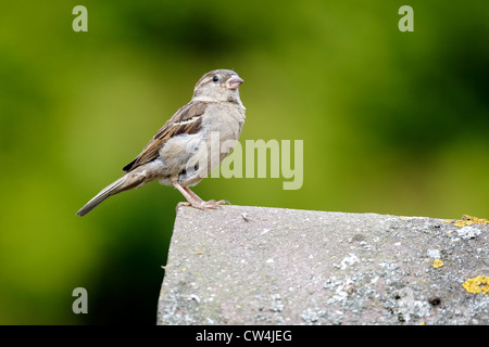 House sparrow, Passer domesticus. single female on tiled roof, Staffordshire, August 2012 - Stock Photo