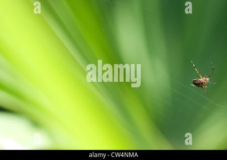 garden orb spider spinning a web - Stock Photo