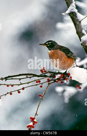 Robin on branch in falling snow with red holly berries, Missouri USA - Stock Photo