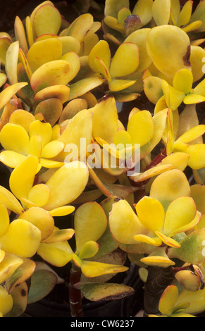 Crassula ovata 'Hummel's Sunset', syn. C. argentea, succulent, succulents yellow foliage leaf leaves garden plant - Stock Photo