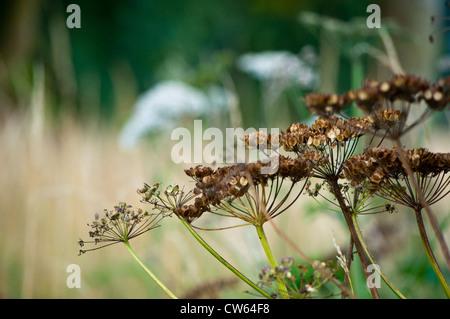 Hogweed Heracleum sphondylium with seed head - Stock Photo