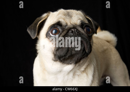 A fawn colored pug stands at attention.  Her curly cue tail can be seen in the background.  She is looking up. - Stock Photo