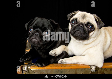 A 6 month old black pug puppy sitting with a 1.5 year old fawn pug. The older dog has her paw on the shoulder of - Stock Photo
