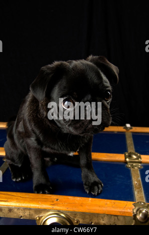 A black pug, 6 months old, sitting atop an antique trunk. - Stock Photo