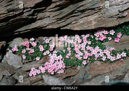 alpine rock-jasmine (Androsace alpina, Androsace glacialis), bloomig in crevice - Stock Photo