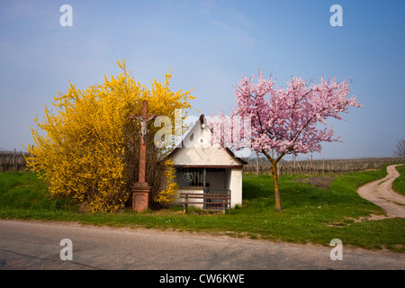 Common forsythia (Forsythia x intermedia, Forsythia intermedia), little chapell with roadside cross, blooming forsythia - Stock Photo